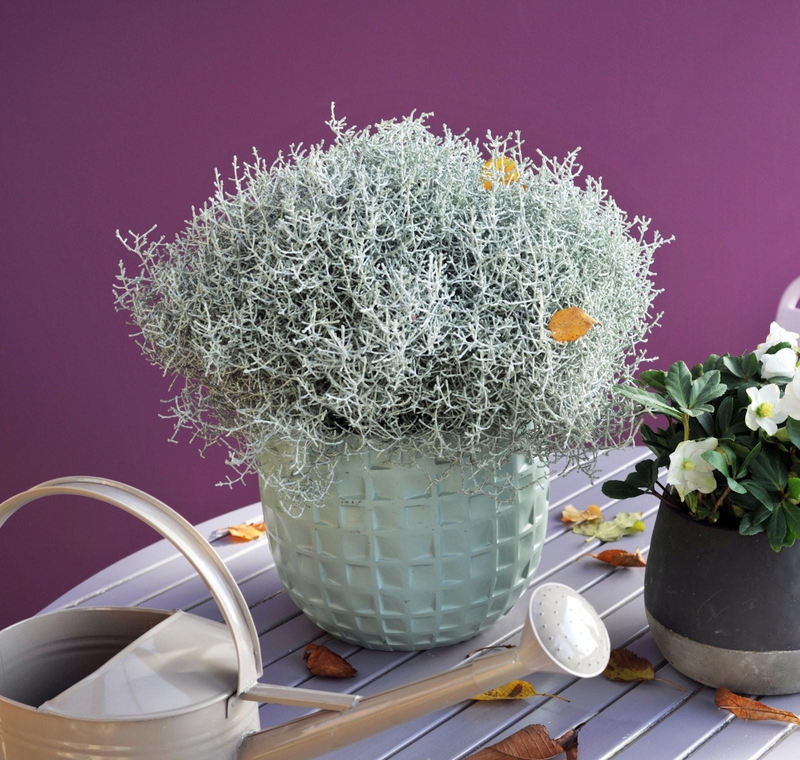 mooiwatplantendoen.nl Equalise trend calocephalus helleborus 003 hr klein