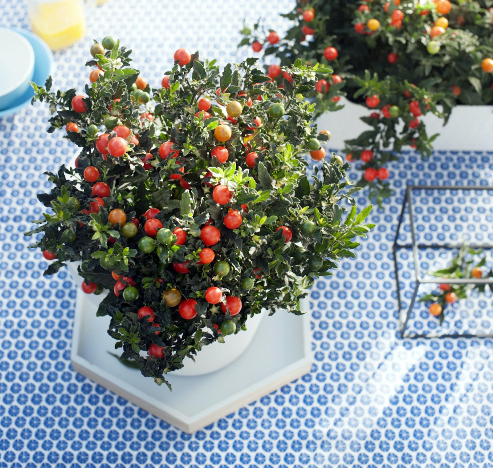 mooiwatplantendoen.nl Bbh solanum pseudo capsicum reconsider space 001 hr 0